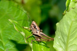 bush cricket, dark