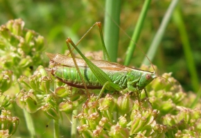 long-winged conehead DM 30-viii-09 8