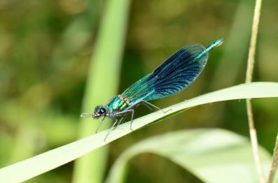 banded demoiselle male 01
