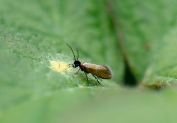 black-headed gold Micropterix mansuetella