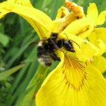 bumblebee, garden 02