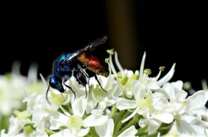 ruby-tailed wasp Chrysis ignita 03 (2)